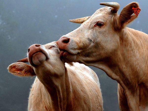 cows-kiss_32028_600x450